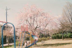 ペトリ FTE 2019年4月 桜02